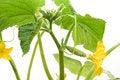 Free Growing Cucumber Liana Stock Photography - 9427282