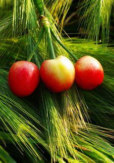 Three Cherries Stock Images