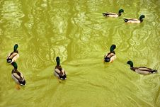 Free Ducks Swiming In The Lake Stock Images - 9421474