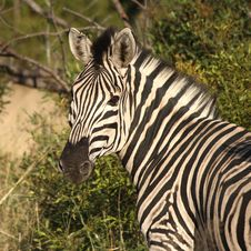 Free Zebra On Safari Stock Photos - 9421793