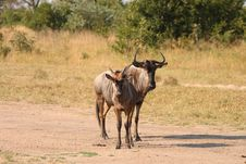 Free Blue Wildebeest In Sabi Sand Game Reserve Stock Images - 9421794