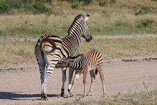 Free Zebra And Calf Stock Images - 9422984
