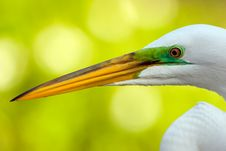 Free A Close Up Of A Great Egret Stock Image - 9423321