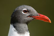 Free A Close Up Shot Of A Laughing Gull Royalty Free Stock Image - 9423326