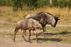 Blue Wildebeest In Sabi Sand Game Reserve Stock Images