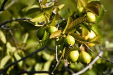 Free Ripe Guavas Royalty Free Stock Images - 9424139