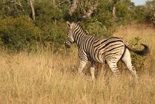 Free Zebra On Safari Royalty Free Stock Image - 9424506