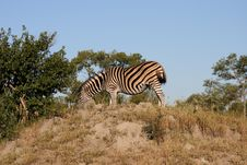 Free Zebra On Safari Stock Photos - 9424513