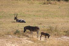 Free Waterbuck On Safari Stock Image - 9424771