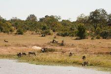 Free Safari Dam - Zebra, Water Buck Royalty Free Stock Photo - 9425345