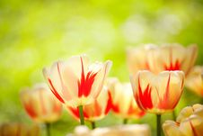 Free Many Tulips In The Garden Royalty Free Stock Photo - 9426245