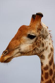 Giraffe In Sabi Sand Reserve, Africa Stock Photo