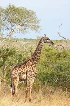 Giraffe In Sabi Sand Reserve, Africa Royalty Free Stock Image