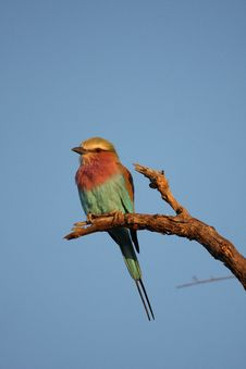 Free Lilac Breatsed Roller Royalty Free Stock Photos - 9426628