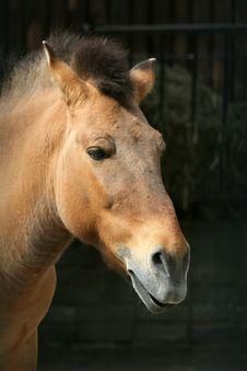 Free Przevalsky S Horse Royalty Free Stock Photos - 9426818