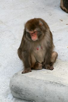 Free Macaque Royalty Free Stock Photography - 9426877