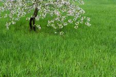 Free Lawn And Blossoming Cherry Royalty Free Stock Images - 9427169
