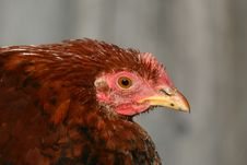 Free Portrait Of A Chicken Royalty Free Stock Images - 9427329