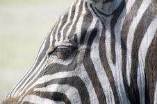 Free Zebra Royalty Free Stock Photo - 9427905