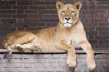 Free Lion Stock Photo - 9427970