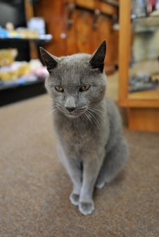 Free Gray Cat Sitting Royalty Free Stock Photography - 9428767