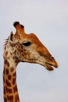 Giraffe In Sabi Sand Reserve, Africa Stock Photography
