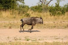 Free Blue Wildebeest In Sabi Sand Game Reserve Stock Images - 9429284