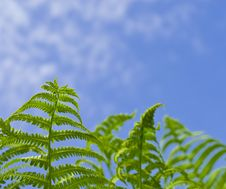 Free Bright Fern On A Background Sky Royalty Free Stock Image - 9429996
