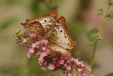 Free 2 Brown And White Butterflies On Pink Flowers Stock Photo - 94244260