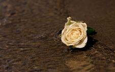 Free White Rose On Beach Stock Photography - 94244262