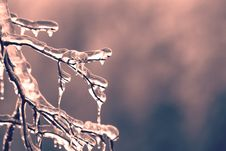 Free Icicles On A Branch Royalty Free Stock Image - 94244296