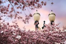 Free Spring Blossoms With Streetlamp Royalty Free Stock Photography - 94244397