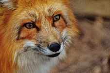 Free Fox, Wildlife, Red Fox, Mammal Stock Photos - 94245483