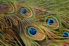 Free Peafowl, Feather, Close Up, Beak Stock Images - 94245514