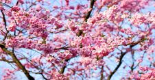 Free Blossom, Pink, Spring, Cherry Blossom Stock Photography - 94245692
