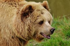 Free Brown Bear, Grizzly Bear, Terrestrial Animal, Mammal Stock Image - 94245831