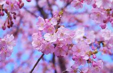 Free Blossom, Pink, Flower, Cherry Blossom Royalty Free Stock Photos - 94245868