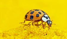 Free Insect, Beetle, Invertebrate, Ladybird Royalty Free Stock Image - 94246246