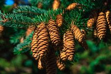 Free Pine Family, Spruce, Conifer, Tree Royalty Free Stock Image - 94247256