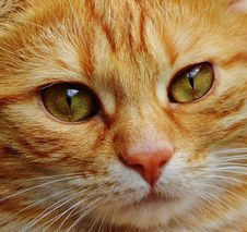 Free Cat, Whiskers, Face, Eye Stock Photos - 94247523