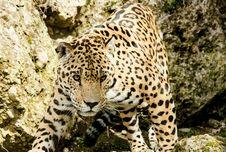 Free Leopard, Jaguar, Terrestrial Animal, Wildlife Royalty Free Stock Photo - 94247535