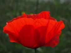 Free Flower, Poppy, Coquelicot, Wildflower Stock Photography - 94247982