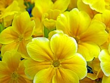Free Flower, Yellow, Flora, Petal Royalty Free Stock Image - 94248646