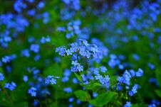 Free Blue, Flower, Forget Me Not, Plant Royalty Free Stock Image - 94249686