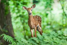 Free Wildlife, Deer, Mammal, Fauna Royalty Free Stock Photo - 94250895