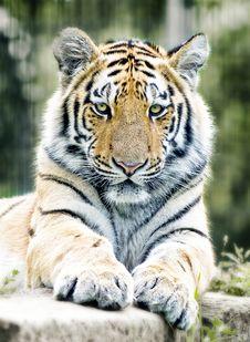 Free Tiger, Wildlife, Mammal, Terrestrial Animal Royalty Free Stock Photos - 94250938