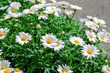 Free Flower, Plant, Oxeye Daisy, Marguerite Daisy Stock Photography - 94257512