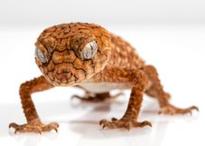 Free Reptile, Scaled Reptile, Lizard, Gecko Stock Images - 94257534