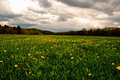 Free Field Of Dandelions Stock Photo - 9430490