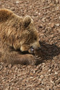 Free Brown Bear - Ursus Arctors Stock Images - 9432074